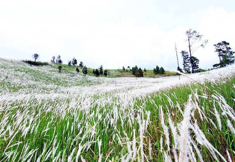 Ngọn đồi cỏ tranh trắng trắng xoá cực đẹp ở Đà Lạt
