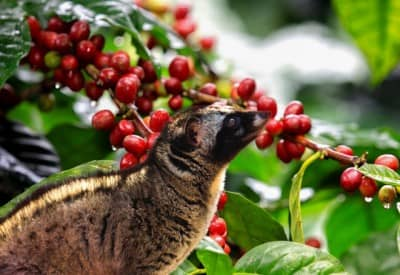 Cà phê chồn Đà Lạt - Cà phê thượng hạng và đắt đỏ