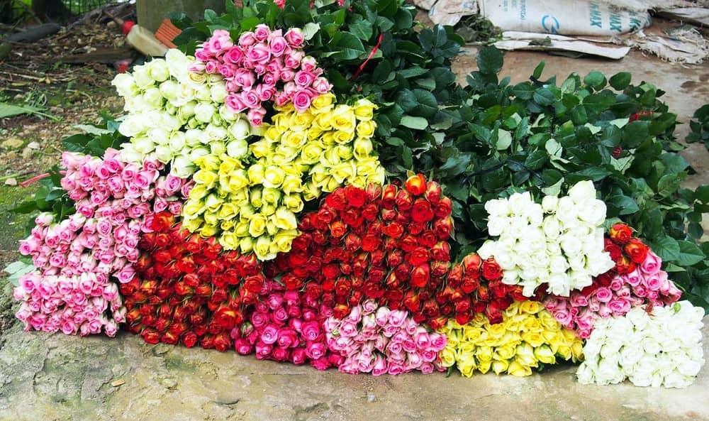 giá hoa hồng Đà Lạt